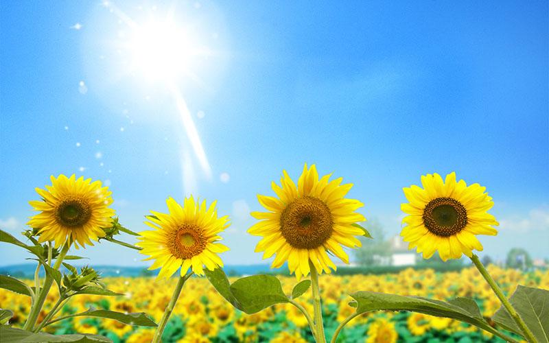Sunflower - Hoa hướng dương